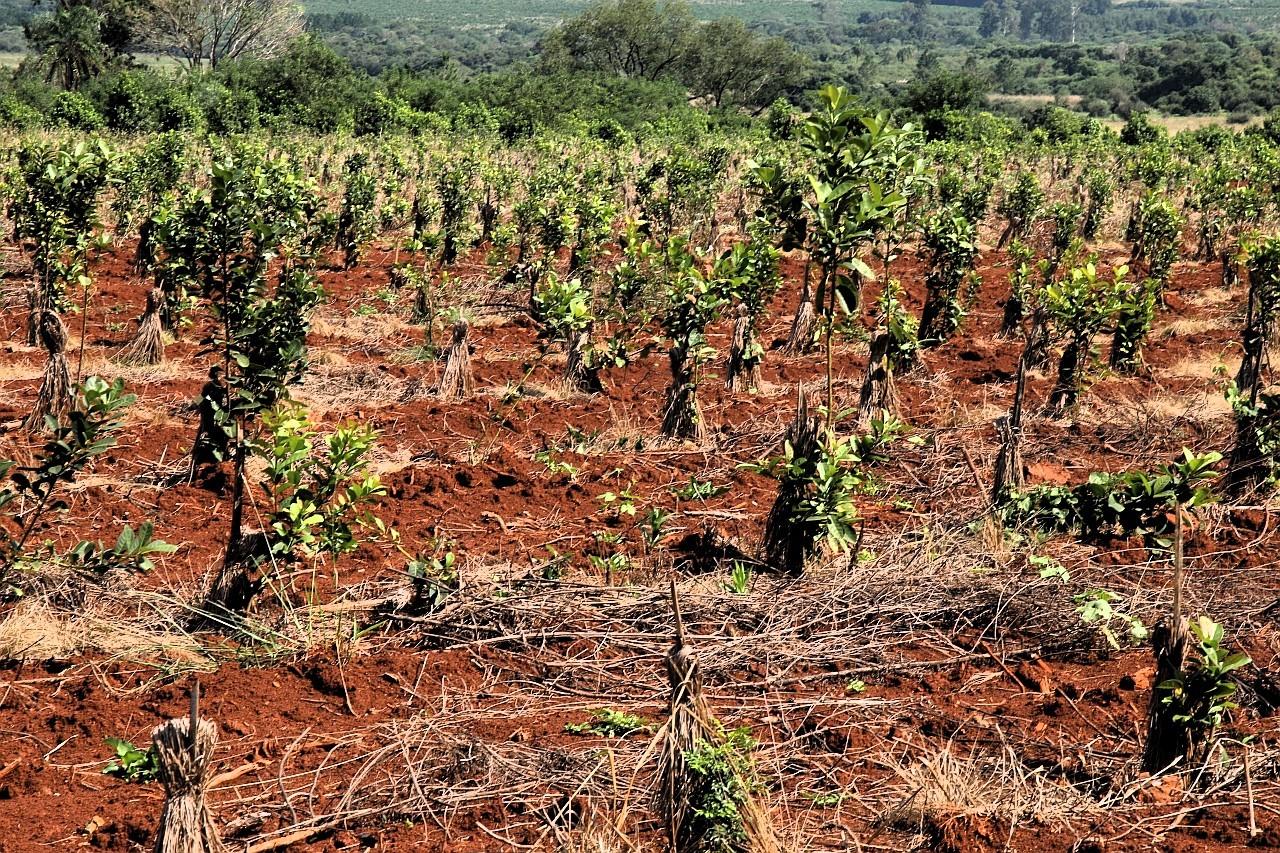 Uprawa ostrokrzewu paragwajskiego. La Cachuera w prowincji Misiones. Fot. Krzysztof Miduch